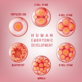 Embryo Development Image. Human fertilization scheme, the phases of embryo development in the early stages. Vector illustration in pink colours  on a light Stock Photos