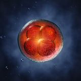 Embryogenesis Stock Image