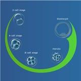 Embryonalentwicklungsembryogenese in-vitro-IVF, das Eiovum, Wiedergabe in der Menschenillustration für einen Artikel Lizenzfreies Stockbild
