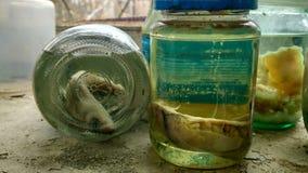 Embryons expérimentaux dans le laboratoire dans Pripyat Photo stock