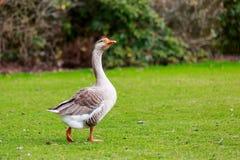 Free Emden Goose Stock Photo - 42258950