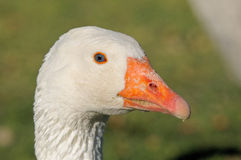 Emden goose Royalty Free Stock Photo