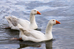 Emden Goose Couple Stock Images