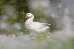 Emden Goose with flowers. Emden goose surrounded by flowers Royalty Free Stock Photo