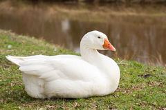 Emden Goose. Laying by a ditch Royalty Free Stock Photography