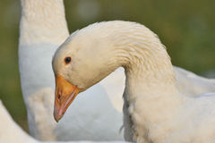 Emden goose Stock Image