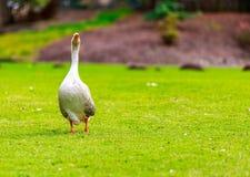 Emden goose Royalty Free Stock Image