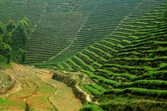 Emeishan, China: Tea Plantation Vista. Vast verdant terraces planted with tea bushes in neat rows cover the hillsides in the tea Royalty Free Stock Photos
