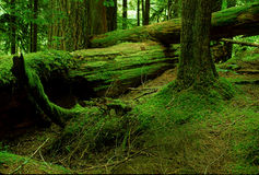 Emeral Forest. Deep Green Forest in Mt. Rainer National Park stock image