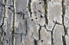 Emerald Ash Borer Exit Holes fotografia stock