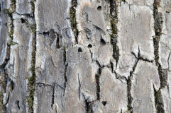 Emerald Ash Borer Exit Holes. Emerald Ash Borer is one of the most destructive invasive pests in North America. It attacks all native ash trees resulting in 100 stock photo