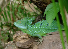 Emerald basilisk Royalty Free Stock Photography