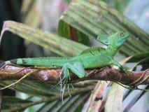 Emerald Basilisk Stockbild