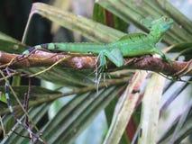 Emerald Basilisk Royalty Free Stock Image