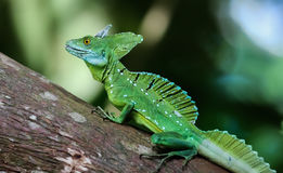 Emerald basilisk on a tree in Costa Rica. A Emerald basilisk climbs a tree trunk in Costa Rica`s rainforest Stock Photography
