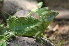 Emerald Basilisks Iguana Royalty Free Stock Photo