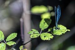 Emerald beautiful dragonfly Stock Photos
