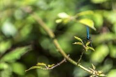 Emerald beautiful dragonfly Stock Image