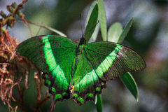 Emerald Beauty Image stock