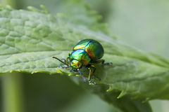 Emerald beetle Royalty Free Stock Photo