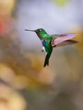 Emerald-bellied Puffleg on flight. An Emerald-bellied Puffleg Hummingbird (Eriocnemis aline) makes a standstill in the air thanks to it's hovering capacity stock photography