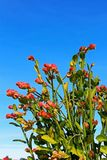 Emerald-Bird Cactus, Slipper Plant, Lady`s Slipper. Pink color Emerald-Bird Cactus, also called Slipper Plant or Lady`s Slipper, are blooming under blue sky Royalty Free Stock Photography
