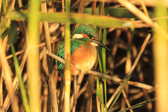 Emerald bird sitting in the bush Royalty Free Stock Images