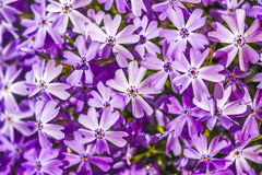 Emerald Blue Creeping Phlox, close up in garden, summer time. Stock Images