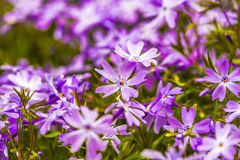 Emerald Blue Creeping Phlox, close up in garden, summer time. Royalty Free Stock Photography