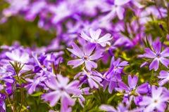 Emerald Blue Creeping Phlox, fin dans le jardin, heure d'été Photographie stock libre de droits