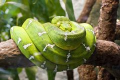 Emerald boa Royalty Free Stock Photography