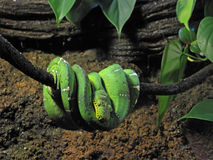 Emerald boa snake Stock Photo
