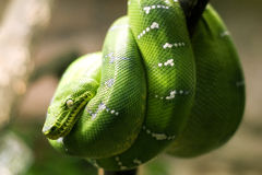 Emerald boa snake Royalty Free Stock Photo