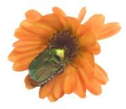 Free Emerald  Bug On A Calendula Flower Stock Photo - 15041300