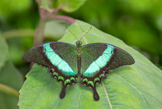 Emerald Butterfly Royalty Free Stock Image