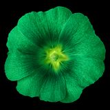 Emerald chartreuse flower lavatera isolated on black background. Flower bud close up. Nature royalty free stock photos