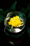 Emerald chrysanthemum. The flower of a yellow chrysanthemum in a glass vase is Stock Photos