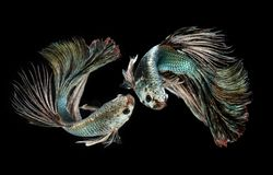Free Emerald Copper Betta Or Siamese Fighting Royalty Free Stock Image - 159868436
