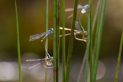 Emerald Damselflies Stock Photo