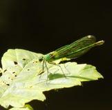 Emerald Damselfly royaltyfri fotografi