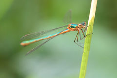 Emerald Damselfly  (Lestes sponsa ) Royalty Free Stock Photo