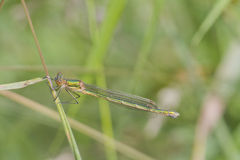 Emerald Damselfly Lestes sponsa Royalty Free Stock Photography