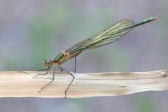 Emerald Damselfly, Lestes-sponsa Lizenzfreie Stockfotos