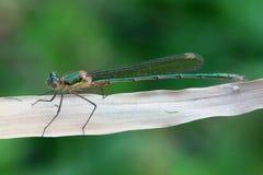 Emerald Damselfly Lestes sponsa arkivbilder