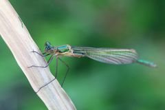 Emerald Damselfly Lestes sponsa fotografering för bildbyråer