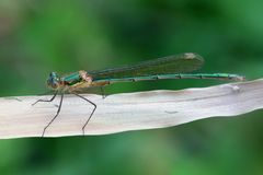 Emerald damselfly, Lestes sponsa. Known also as the Common spreadwing Stock Images