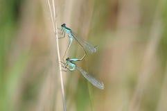 Emerald Damselfly (Lestes sponsa) Stock Photos