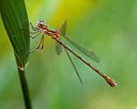 Emerald Damselfly, Lestes sponsa. Stock Photography