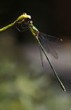 Emerald damselfly or Lestes virides Stock Photo