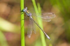 Emerald Damselfly rare dans le soleil d'été Photographie stock